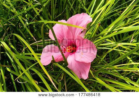 A beautiful photo of an exotic Hibiscus with long pink petals. New Providence, Nassau, Bahamas.