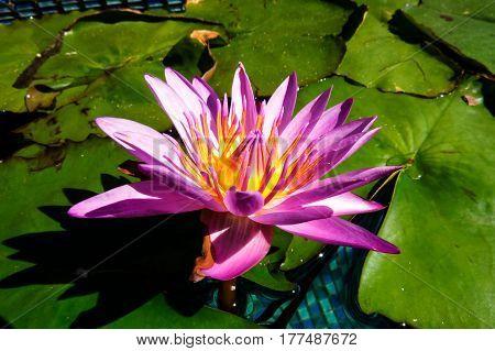A beautiful purple and pink water lily close-up photo. New Providence, Nassau, Bahamas