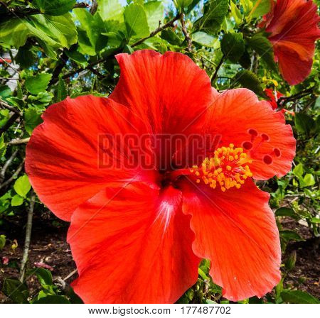 A beautiful exotic Hibiscus with long orange petals. New Providence, Nassau, Bahamas.