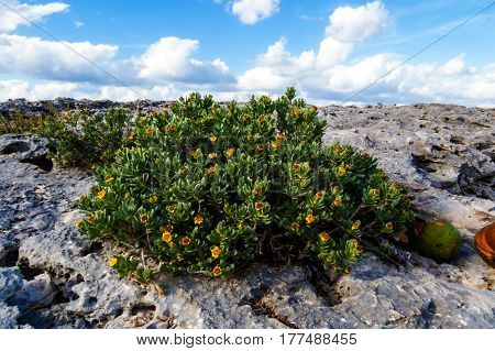 A beautiful exotic bush with yellow flowers near the ocean. New Providence, Nassau, Bahamas.