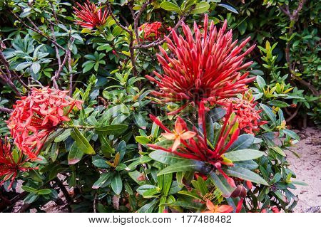 A beautiful exotic bush with red flower balls. New Providence, Nassau, Bahamas.