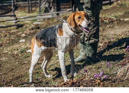 hunting dog on a leash with the owner in the meadow