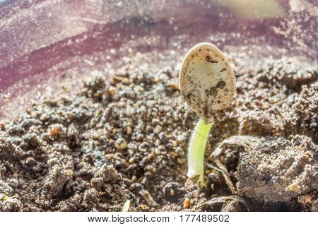 Young sprouted sprout squash from soil small