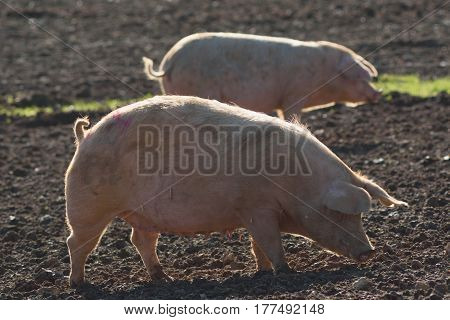 Pigs on a  farm in rural Devon England