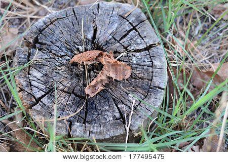 Dry leaves of orange on old stump