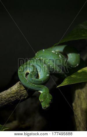 Close up of a green tree python - Morelia viridis