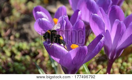 Beatiful bumblebee sitting on violet crocus flower closeup. Spring mood