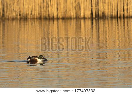 Northern Shoveler (Anas clypeata) drake swimming in water of a Lake in late afternoon Sunlight with Reed in the Background