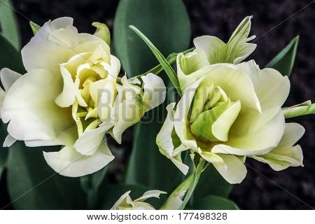 Two beautiful white tulips blossom against a background of green foliage