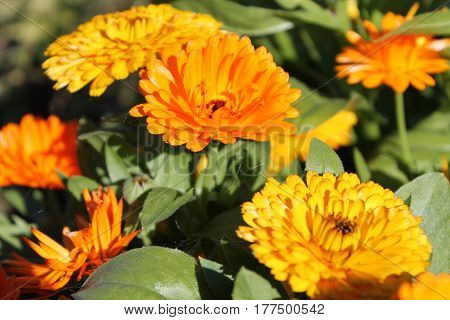 Orange and yellow marigolds in sunny latvian summer day