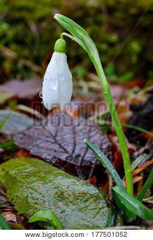 One single flower of Snowdrop in the woods with dew drops after heavy spring rain
