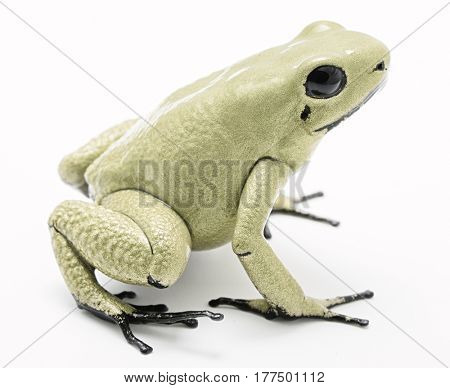 poison dart frog, Phyllobates terribilis mint. Most poisonous animal from the Amazon rain forest in Colombia, a dangerous amphibian with warning colors. Isolated on white