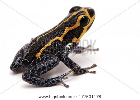 poison dart frog, Ranitomeya imitator, Yumbatos. A small poisonous rain forest animal from the tropical Amazon rain forest in Peru. Isolated on white background