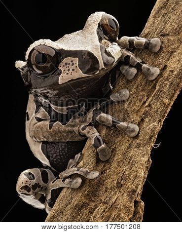 Spiny headed tree frog, Anotheca spinosa. A beautiful tropicla rain forest animal of the Amazonian jungle. Amphibian macro.