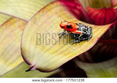 poison dart or arrow frog, Ranitomeya fantastica Caynarichi morph. A small red headed Dendrobates from the Amazon rain forest Peru. This animal is a endangered species and needs nature conservation.