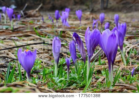 Lot of wild spring crocuses in a field growing up in a row