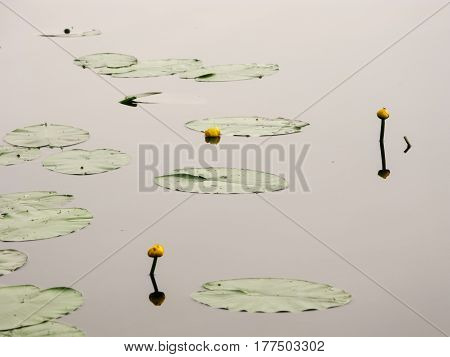 Flowers And Leaves Of Yellow Water Lilies On The Mirror-like Surface Of The Lake
