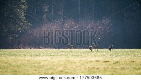 Group Of Roe Deer In Meadow In Morning Light.