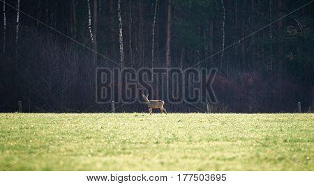 Roe deer doe standing in a field.