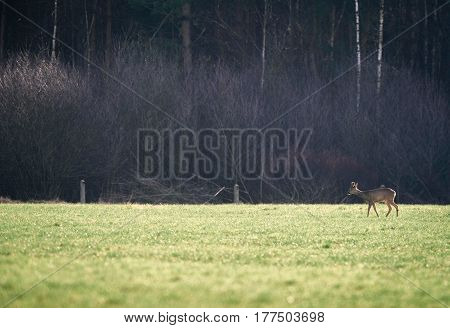 Roe Deer Buck With Bark Antlers Walking In Field.
