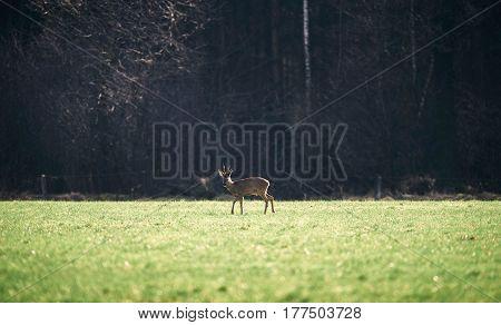 One roe deer buck in a meadow.