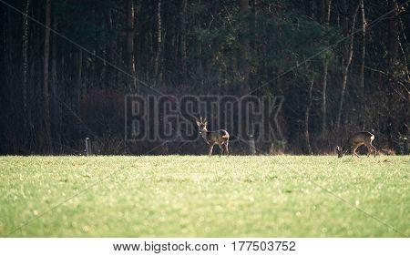 Two roe deer buck in a field.