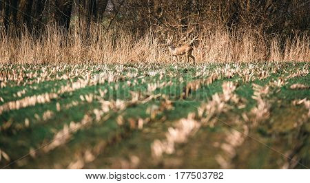 Alert Roe Deer Buck With Bark Antlers Standing In Farmland.