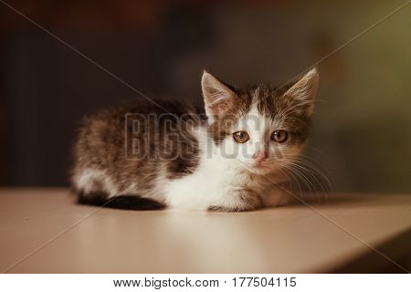 Portrait of little kitten lying on the table and posing on camera copy space