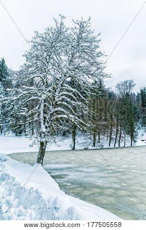 Frozen lake and tree near the castle Trakoscan in Croatia.