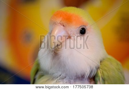 yellow love bird perching and staring in florida