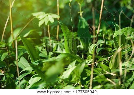 Spring medical nutritional plant and fresh; natural; wild-grown; bears garlic leaves in forest - Allium ursinum - known as ramsons; buckrams; broad-leaved garlic; wood garlic; bear leek or bear's garlic