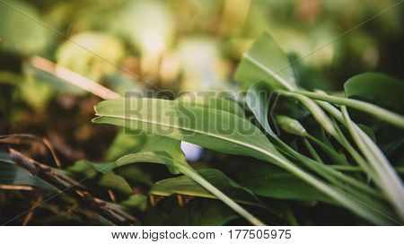 Spring medical nutritional plant and fresh natural wild-grown bears garlic leaves in forest - Allium ursinum - known as ramsons buckrams broad-leaved garlic wood garlic bear leek or bear's garlic