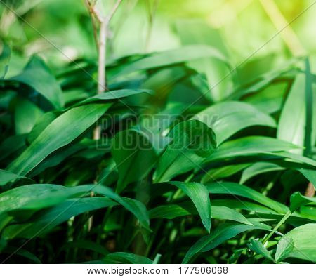 Wild Garlic In Forest , Bears Garlic Leaves In Forest - Allium Ursinum