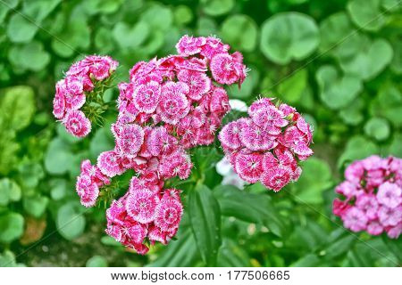 Bright and colorful carnation flowers on a background of the summer landscape.