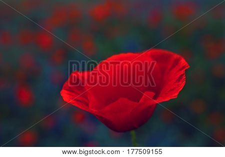 wild poppy flower on a blurred background clouse-up. Remembrance Day.