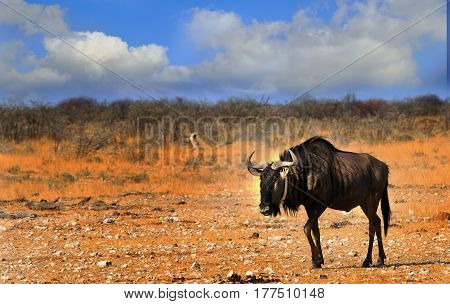 Isolated collared Blue Wildebeest waking across the dry Etosha Pan in Namibia, Southern Africa