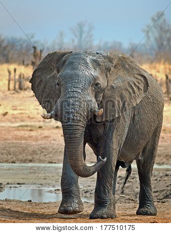 Large Bull elephant with trunk curled, standing on the dry plains in Hwange National Park, Zimbabwe, Southern Africa