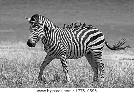 Burchell's Zebra in black & white with many oxpeckers resting onhis bak in Bumi National Park on the edge of Lake Kariba, Zimbabwe, Southern Africa