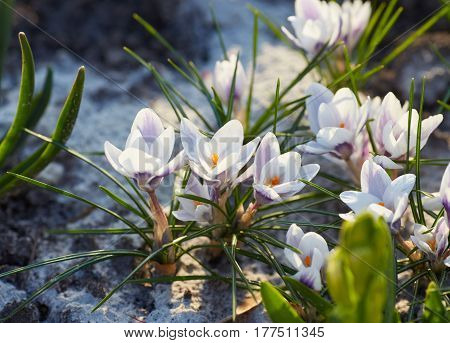 white crocuses close up in spring day