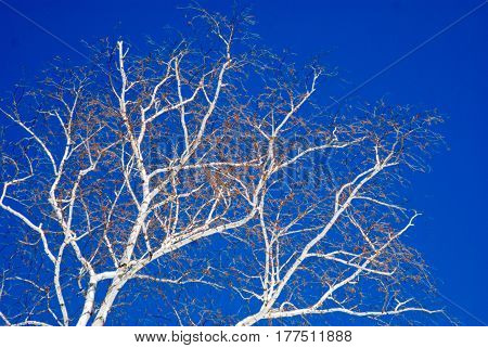 Bright white birch trees against a deep blue late winter mid day  sky