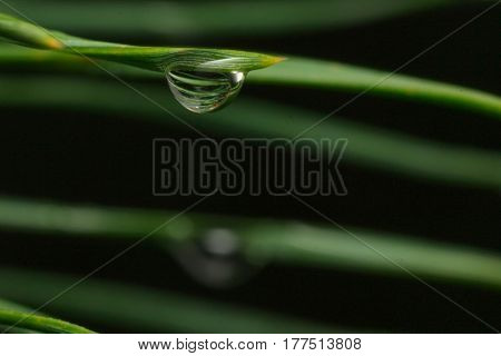 Small droplet of dew on a pine needle on a blurred background