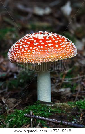 Red Amanita muscaria mushroom in a forest
