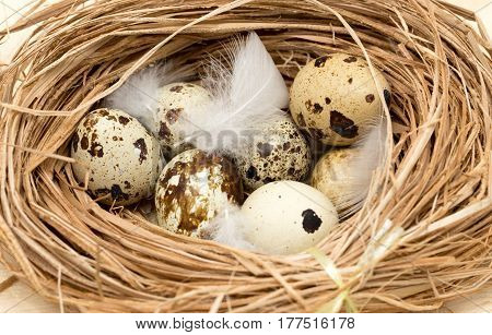 quail eggs in a nest with feather .