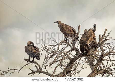 White-backed vultures in the branches of a dead tree against a moody sky. Kruger National Park, South Africa