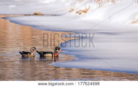 Wood Duck Pair (Aix Sponsa) swimming side by side in reflective icy water