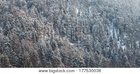 Aerial panoramic view of the treetops of a dense pine forest in winter snow in a full frame view