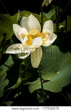 Cream-colored lotus or waterlily in bright sunlight