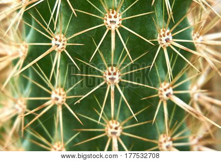Close up picture of Cactus spike. Pattern of Cactus spike