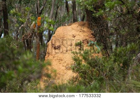 Termite mound in an Australian forest