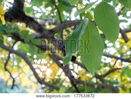 green leaves on the big tree, beautiful sunset background